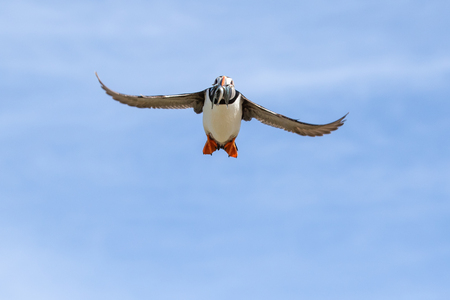 Frontal shot of an atlantic puffin approaching the nest with a mouthful of sand eels