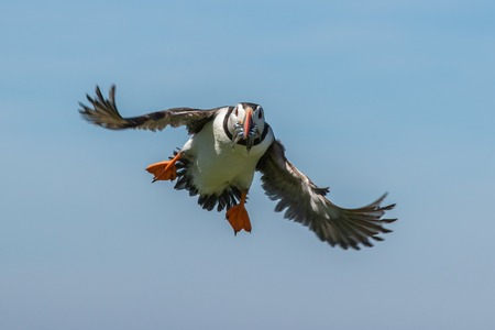 Atlantic puffing landing with a mouthful of sand eels
