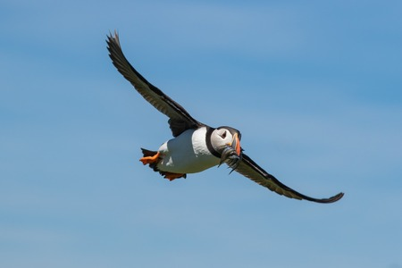 An atlantic puffin making an approach with a mouthful of sand eels Stock Photo