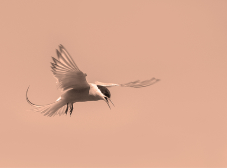 Artistic edit of an Arctic Tern hovering in a beautiful pose in the sky