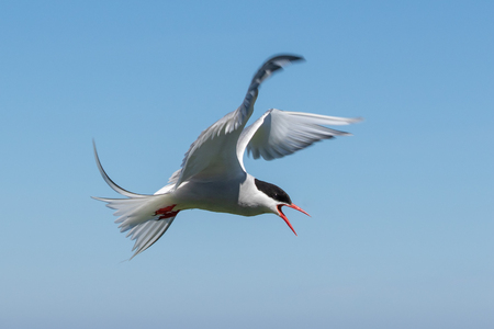 An Arctic Tern on the Farne Islands is definding her nest Banque d'images - 104885548