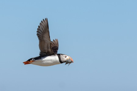An atlantic puffin flying by with a mouth full of sand eels