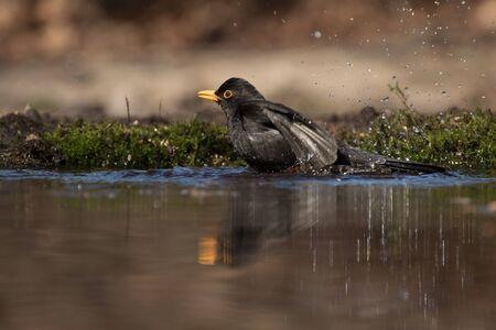 Male blackbird taking a bath in a pond