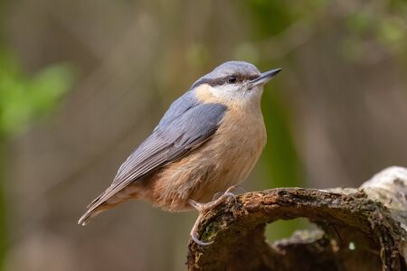 Close up shot of a wood nuthatch Imagens