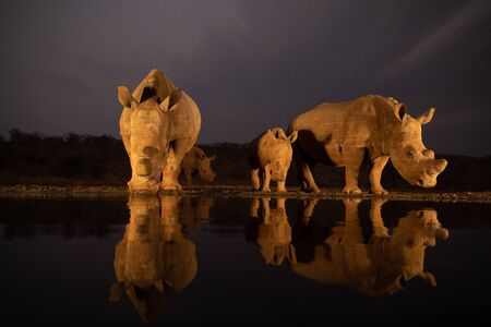 Two white rhino families drinking from a pond in the evening
