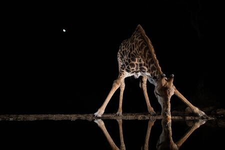 A giraffe is drinking from a pool in the night reflecting in the water with the moon in the sky