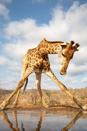 A giraffe raises its head with a jet of water after drinking from a pool