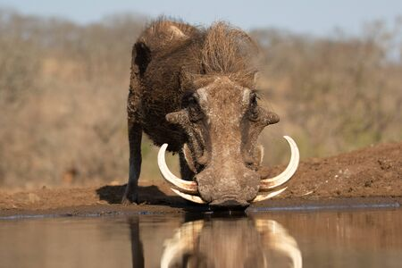 Frog perspective view of a common warthog with huge tuskers drinking from a pool