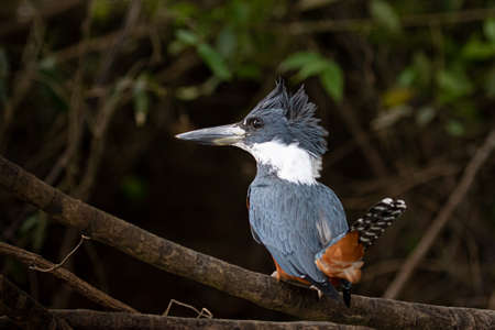 Belted kingfisher siting on a branch in the sun Stock Photo