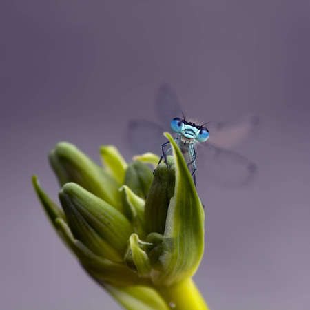arthropod: A Azure Damselfly (Coenagrion Puella) saids hello Stock Photo