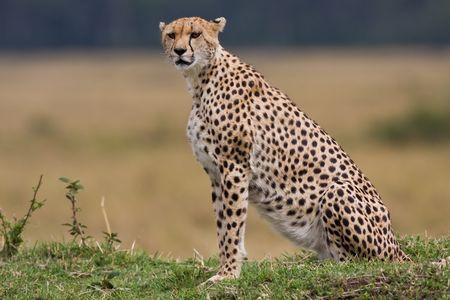 cheetah in kenya Stock Photo - 6014941