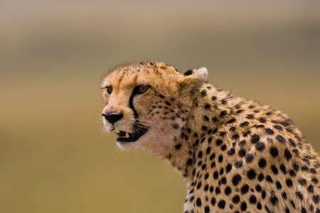 Gepard Portrait Stock Photo - 6014940