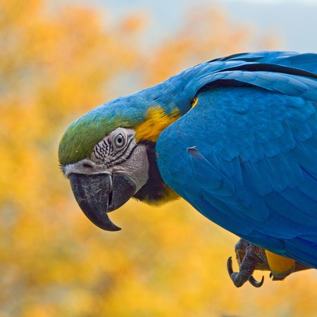 aras: portrait of a blue-yellow macaw