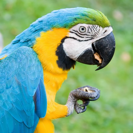 portrait of a blue-yellow macaw eating a nut Stock fotó