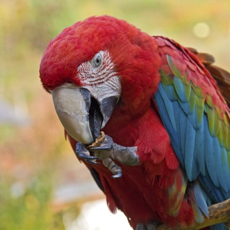 aras: close up portrait of a red macaw eating a nut