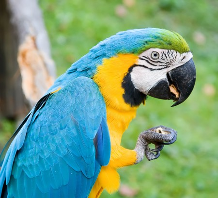 close up portrait of a macaw eating a nut