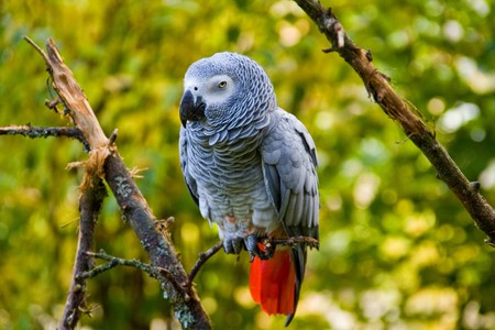 grey parrot is resting on a branche