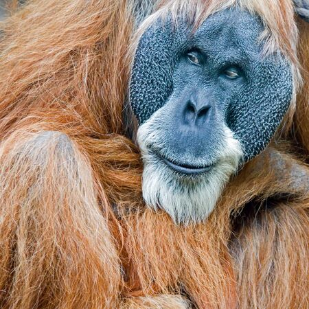 Portrait of an old male orang utan in the zoo Stock Photo - 4651789