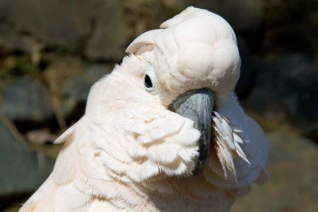 close up portrait of a white cockatoo Foto de archivo