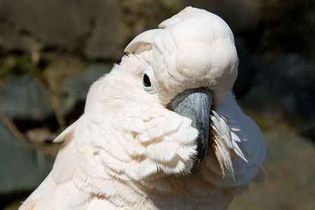 close up portrait of a white cockatoo Stock Photo