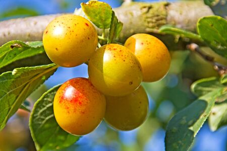 mellow mirabelles - small yellow plums