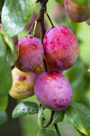 mellow: Mellow plums in the late summer