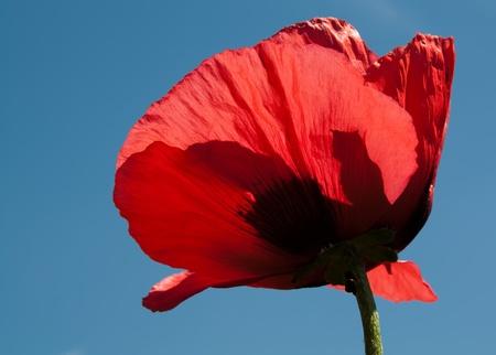 poppies: Poppy Blossom Closeup