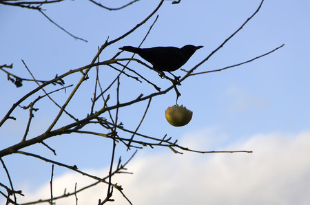 blackbird in bare branches with an apple photo