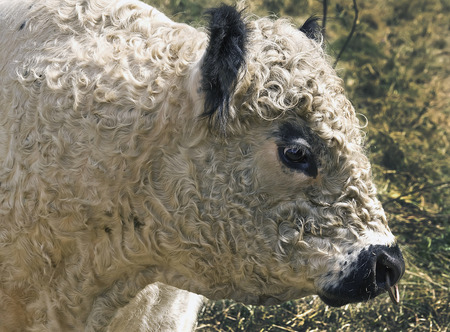 bull rings: portrait of a bull galloway
