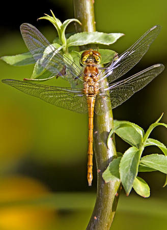 Dragonfly - darter - meadowhawk - sitting on a branch Stock Photo