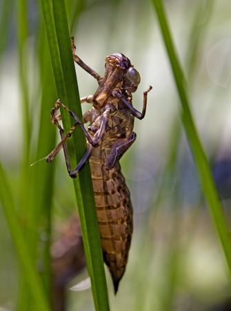 odonata: Dragonfly grub - exuvie - on reed