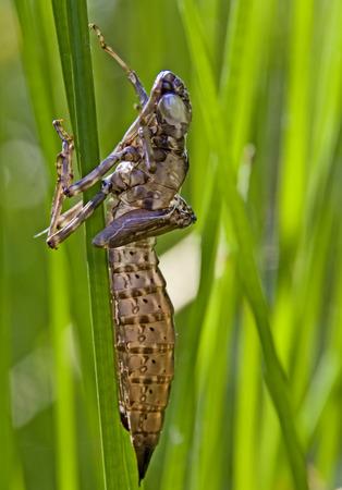 odonata: Dragonfly grub on reed