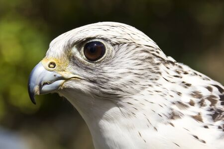 Portrait of a gyrfalcon Stock Photo