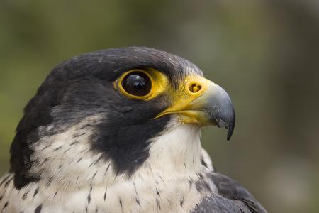 profile: Portrait of a Peregrine falcon