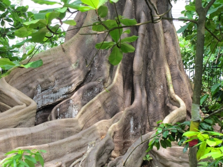 Wondeful view of the massive buttress roots of old giant cotton tree Reklamní fotografie