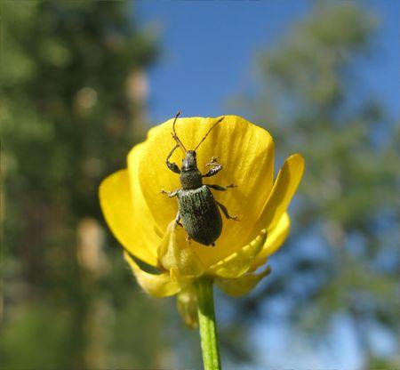 nenuphar: A Brown Beetle on a Nenuphar Flower.