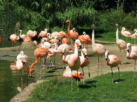 Pink flamingos in the zoo of Prague. photo