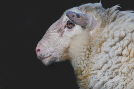 Portrait of a sheep isolated on black background photo