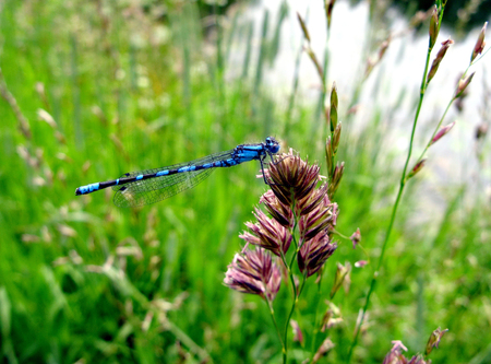 A dragonfly Calopteryx splendens in the meadow