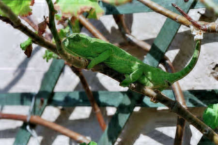 flap: Chameleon shedding skin