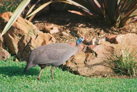 guinea fowl: Guinea Fowl