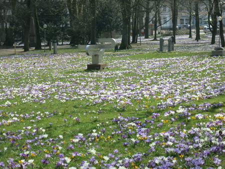 crocus field Stock Photo