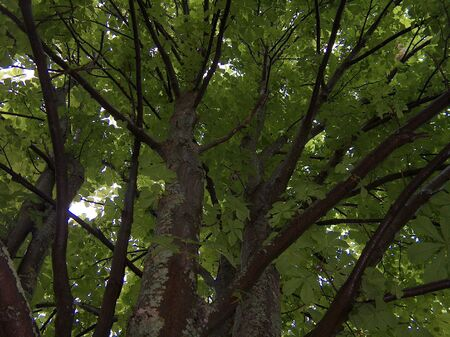 looking up under the leaves of a chestnut tree.
