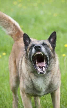Rugir chien de police montrant les dents Banque d'images