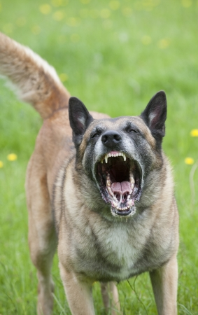 Snarling police dog showing teeth photo