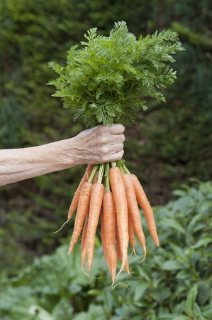 freshly picked: Bunch of fresh carrots