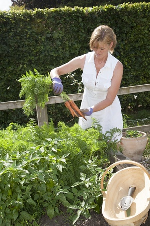 Vegetable garden woman pulling carrots from a raised bed Stock Photo