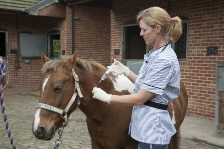 Veterinary nurse treating a Skewball pony Injecting with a large syringe Stock Photo