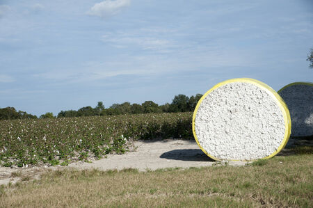 Round bales of cotton northern Florida USA