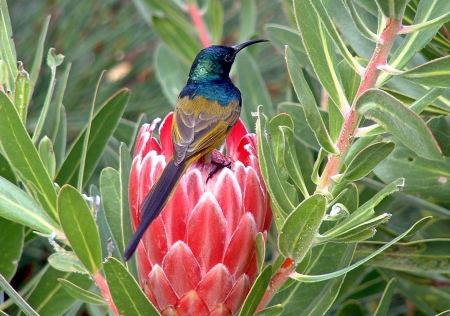 Cape Sugarbird Promerops cafer takes nectar from Protea flower South Africa Foto de archivo